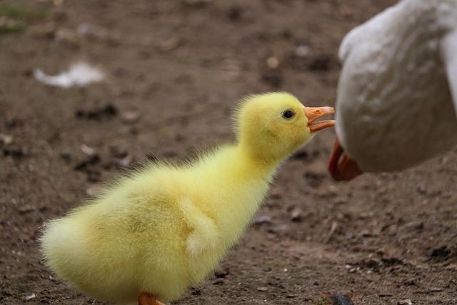 Bird, Farm, Nature, Poultry, Animal, Chicks, Goose