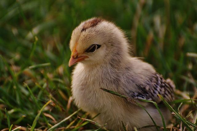 Chicks, Cute, Feather, Bird