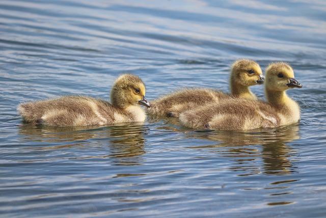 Chicks, Boy, Young Birds, Canada Goose