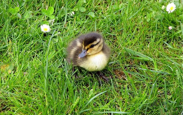 Ducklings, Chicks, Animal Children, Cute