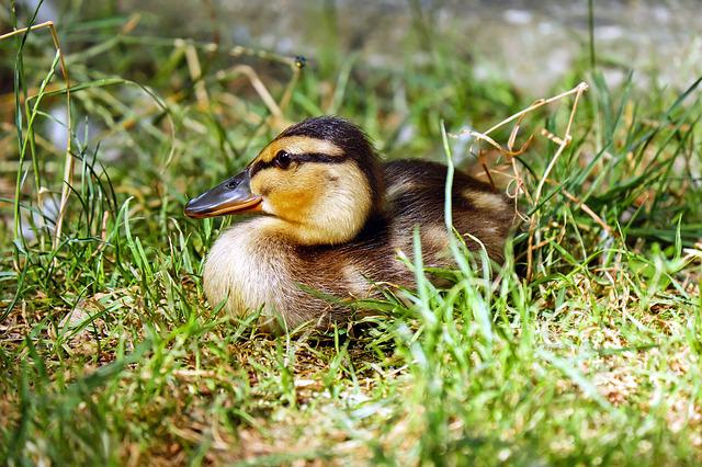 Duck, Chicks, Animal, Young Animal, Small, Cute, Nature
