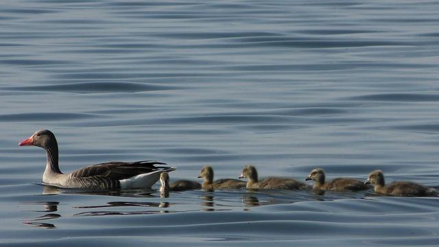 Ducks, Duck Bird, Young Ducks, Young, Chicks, Waterfowl