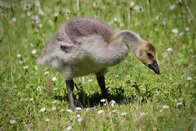 Goslings, Canada Goose, Chicks, Fluff, Water Bird