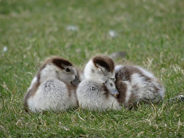 Goslings, Chicks, Bird, Wildlife Photography, Geese