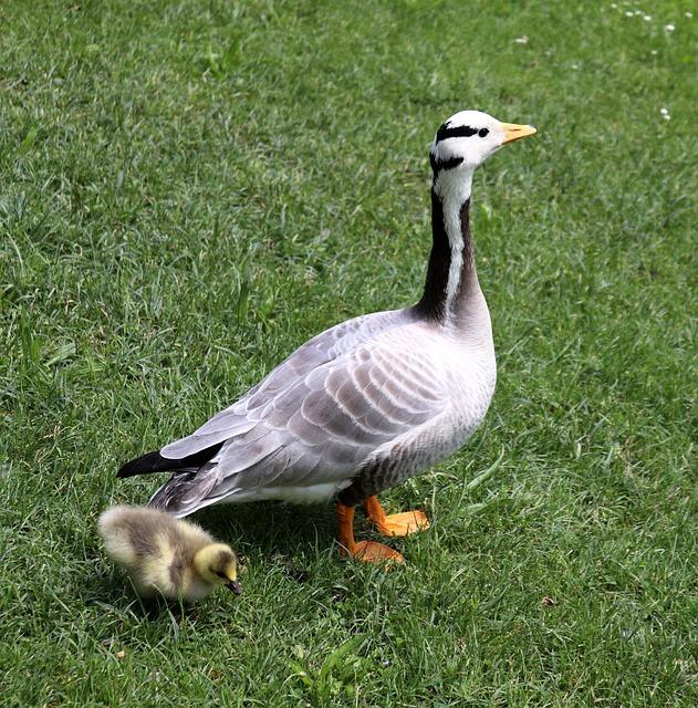 Goose, Chicks, Nature, Goslings, Birds, Young Goose