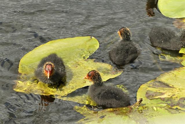 Coot, Nest, Chicks, Hatch, Spring, Moederzorg