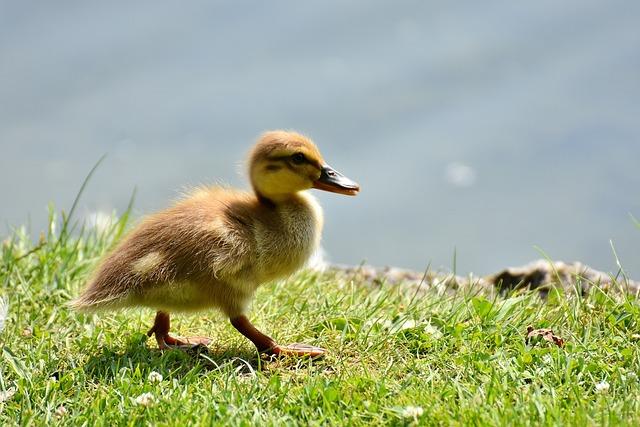 Mallard, Chicks, Baby, Swim, Small, Cute, Sweet, Funny