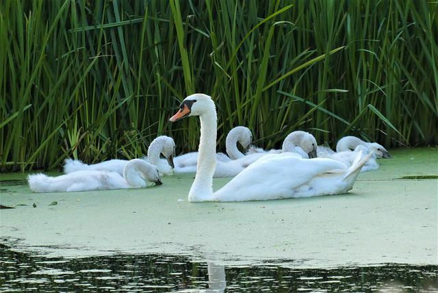 Swan With Chicks, Swan, Chicks, Nature, Waterfowl