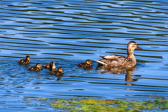 Animal World, Duck, Water Bird, Nature, Mallard, Chicks