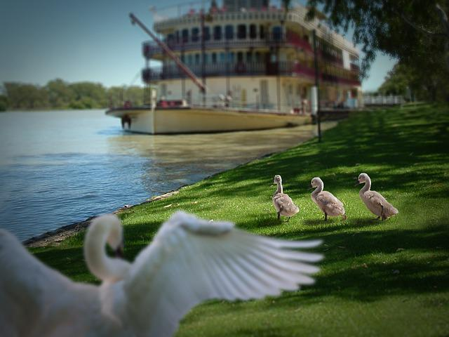 Swan, Chicks, Swans, Sweet, Water Bird, Young Animals