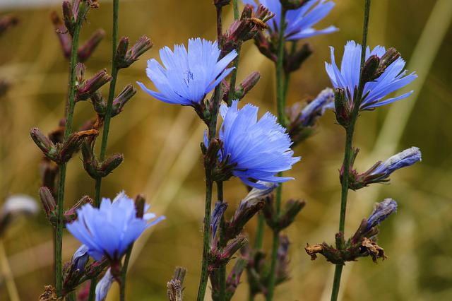 Chicory, Common Chicory, Blossom, Bloom, Flower