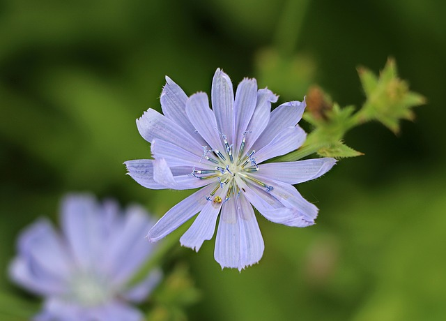 Chicory, Blue, Flower, Wild Herbs, Common Chicory