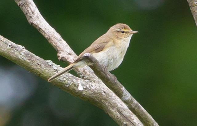 Phylloscopus Collybita, Chiffchaff, Warbler, Songbird