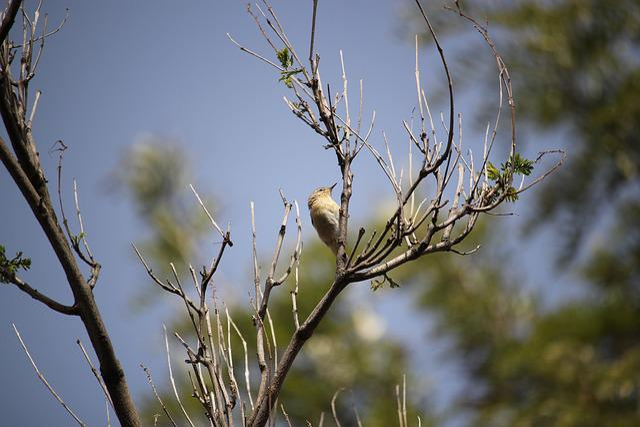 Chiffchaff, Bird, Nature, Wildlife, Habitat, Wild, Song