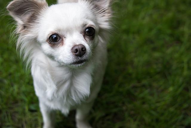 Chihuahua, Dog, Chiwawa, View, Good, Attention, Eyes