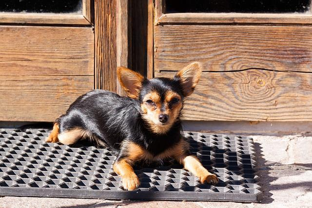Yorkshire Terrier, Hybrid, Chihuahua, Door, Input