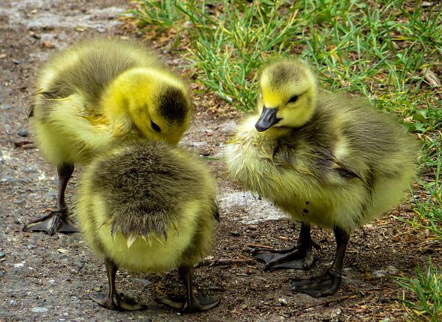 April, Chicks, Boy, Geese, Children's Group, Spring
