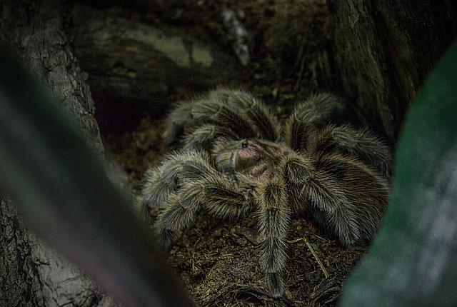 Spider, Tarantula, Chile Rose Tarantula