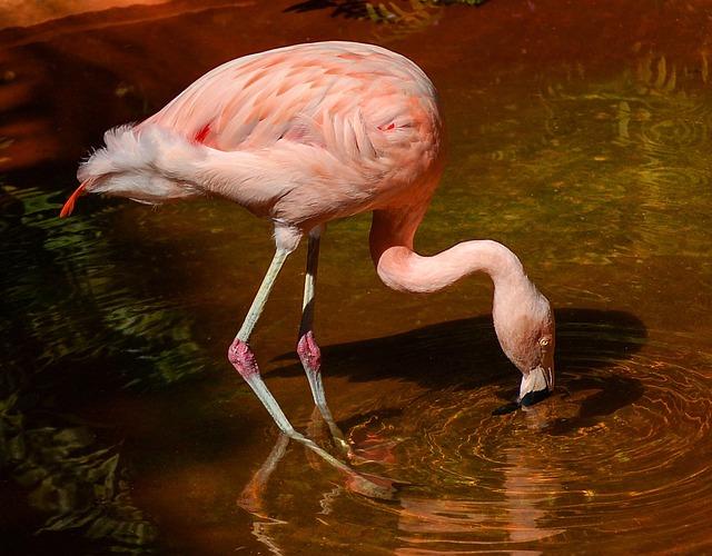 Flamingo, Bird, Wading Bird, Pink, Chilean Flamingo