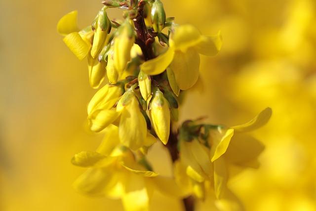 Flowers, Forsythia, Chinese Bellflower, Nature, Bush