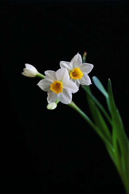 Narcissus, White, Chinese New Year