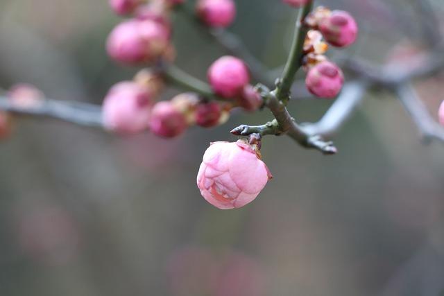 Nature, Plum Blossom, Bloom, Chinese New Year, Winter