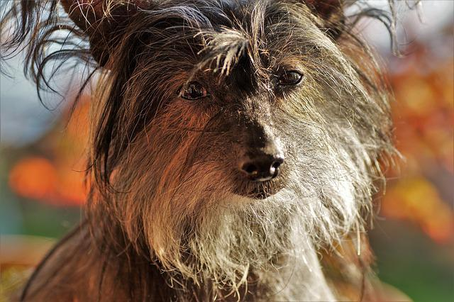 Chinese, Crested, Dog, Bitch, Hairless Dog, Portrait