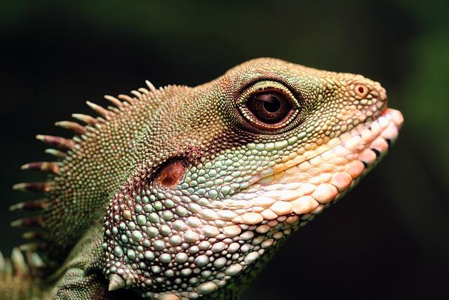 Chinese Water Dragon, Green Water Dragon, Lizard