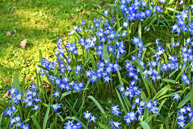 Glory Of The Snow, Chionodoxa, Flower, Bulbous