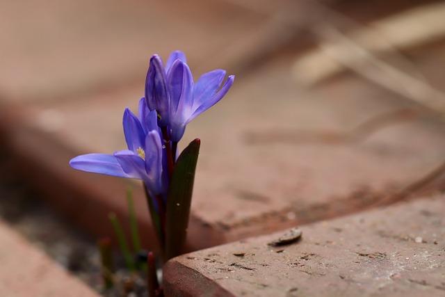 Blue Asterisk, Chionodoxa Luciliae, Wallflower, Blue