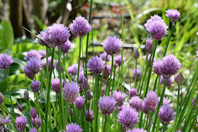Chives, Blossom, Bloom, Purple, Nature, Plant