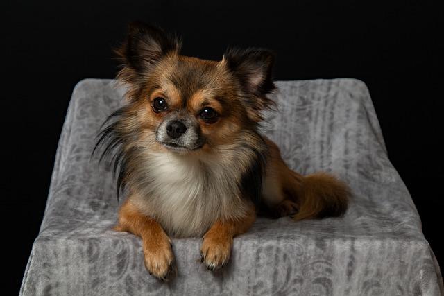 Chihuahua, Dog, Small, Pets, Cute, Hairy, Chiwawa