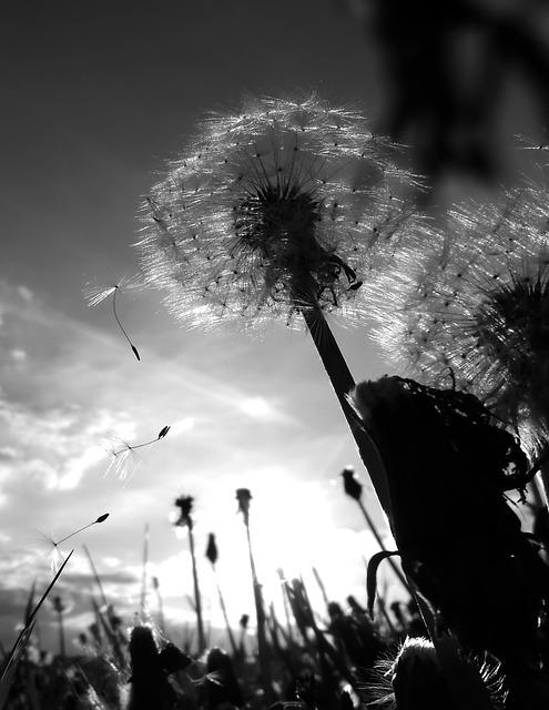 Chmíří, Dandelion, Flies, Dandelions, Flower, Plant