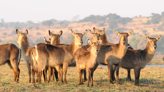 Antelope, Waterbuck, Chobe, Africa, Flock, Group