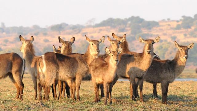 Antelope, Waterbuck, Chobe, Africa, Flock, Group