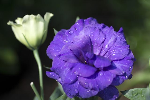 Purple Rose, Chongqing, Nanshan Botanical Garden