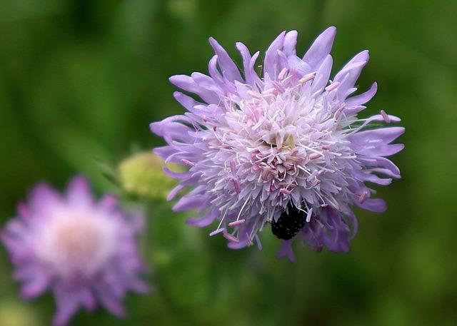 Chrastavec, Knautia, Herb, Flower, Insect, Nectar