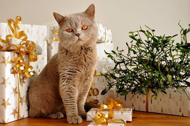 Cat, Christmas, Pet, Gifts, British Shorthair