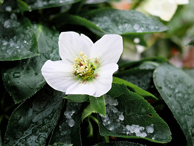 Christmas Rose, Blossom, Bloom, Winterblueher, Species