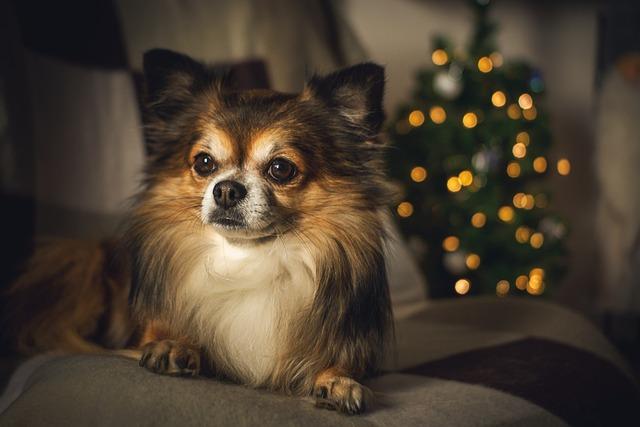 Chihuahua, Christmas, Christmas Time, Christmas Lights