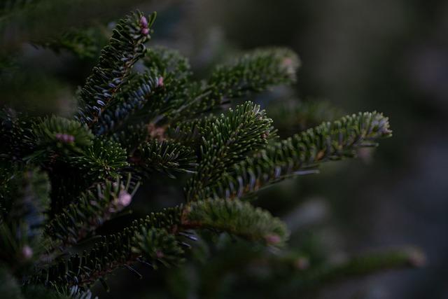 Douglas Fir, Tree, Christmas Tree, Christmas