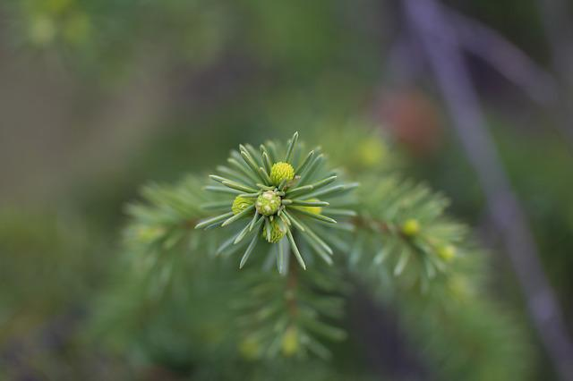 Spruce, Christmas Tree, Young, Shoots, Branch, Needles