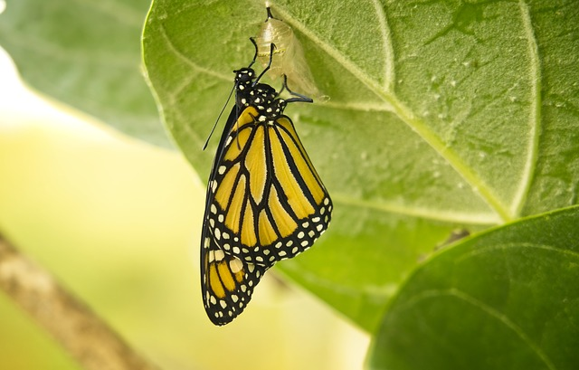 Butterfly, Monarch, Transformation, Chrysalis, Insect