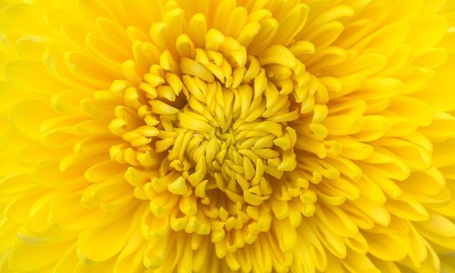 Flowers, Nature, Plants, Autumn, Chrysanthemum, Affix