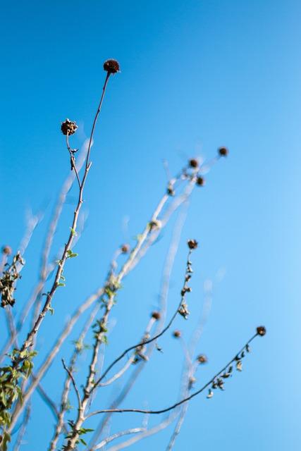 Chrysanthemum, Die, Blue Sky, Sky, Min Nan