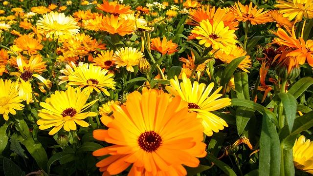 Chrysanthemums, Flowers, Garden Chrysanthemum, Plant