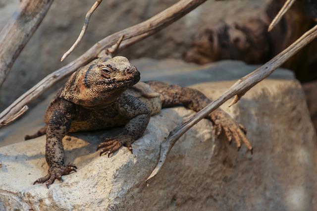 Chuckwalla, Sauromalus Ater, Reptile, Animal, Lizards
