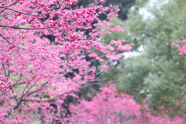 Cherry Blossoms, Chung Cheng Age Read Don 櫻 Flowers