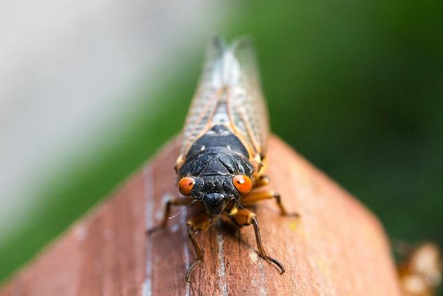Cicada, Close-up, Insect, Macro, Outdoors