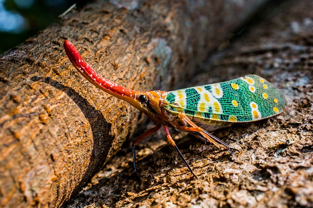 Canthigaster Cicada, Cicada, Insect, Fulgoromorpha